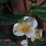 Tea Camellia, Tea Breeze Camellia, Camellia sinensis