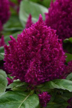 First Flame™ Purple Celosia