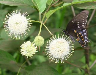 Buttonbush, Button Willow, Honey Bells, Cephalanthus occidentalis