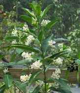 White Cestrum, Day Blooming Jasmine, Day Blooming Jessamine