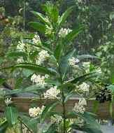 White Cestrum, Day Blooming Jasmine, Day Blooming Jessamine, Chinese Inkberry, China Berry