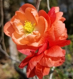 Chojuraku Double Orange Flowering Quince, Japanese Quince