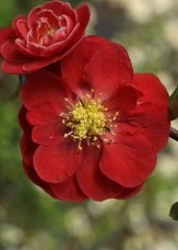 Double Take™ Scarlet Storm Flowering Quince, Japanese Quince