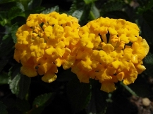 Chapel Hill Gold Lantana (mounding, golden yellow)