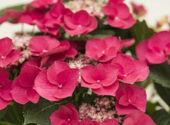 Cherry Explosion™ Bigleaf Hydrangea (Lacecap)