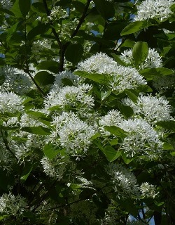 Chinese Fringe Tree, Chionanthus retusus