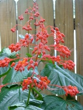Giant Salvia, Japanese Glorybower, Red Glorybower