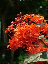 Flaming Glorybower, Java Glorybower