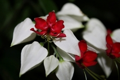 White Bleeding Heart Vine