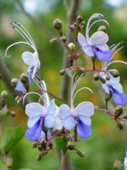 Blue Butterfly Bush, Blue Glory Bower, Blue Wings Bush, Rotheca myricoides 'Ugandense', Clerodendrum ugandense, C. myricoides 'Ugandense'