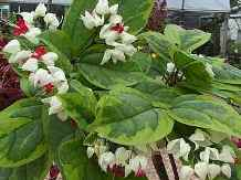 Variegated Bleeding Heart Vine