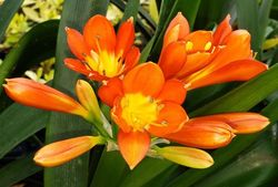 Clivia Lily, Kaffir Lily, Flame Lily, Bush Lily, Natal Lily, September Lily