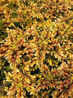 Under the Sea™ Fire Coral Coleus, Painted Nettle