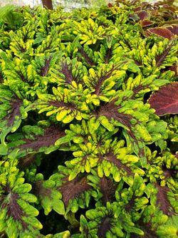 Under the Sea™ Fishnet Red Coleus, Painted Nettle