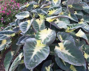Tropical Storm Giant Elephant Ears Perennials All Almost Eden