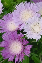 Colorwheel Stokesia Daisy, Stoke's Aster, Stokesia laevis 'Colorwheel'