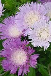 Colorwheel Stokesia Daisy, Stoke's Aster