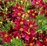 Red Satin Permathread™ Threadleaf Coreopsis, Tickseed