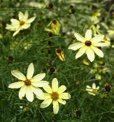 Moonbeam Threadleaf Coreopsis, Tickseed