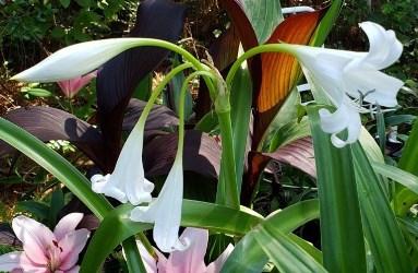 White Crinum Lily