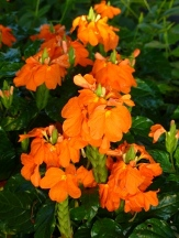 Apricot Sun Firecracker Flower, Crossandra