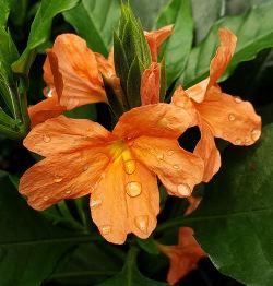 Florida Sunset Firecracker Flower, Crossandra