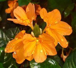 Mona Wallhead Firecracker Flower, Crossandra