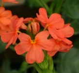 Orange Sherbert Firecracker Flower, Crossandra