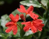 Nile Queen Red Firecracker Flower, Crossandra