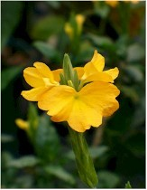 Yellow Firecracker Flower, Crossandra, Yellow Crossandra