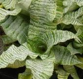 Zebra Plant, Guinea Wing, Earth Star, Cryptanthus