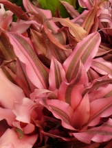 Giant Pink Earth Star, Cryptanthus