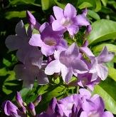 Lavender Garlic Vine