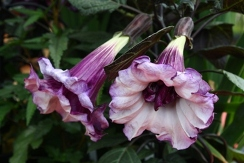 Double Purple Angel's Trumpet, Purple Hindu Datura, Devil's Trumpet, Horn of Plenty