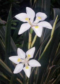 Variegated African Iris, Fortnight Lily, Fortnight Iris