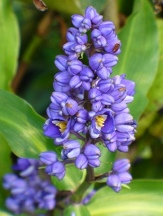 Blue Ginger, Brazilian Ginger
