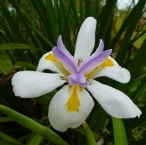 White Butterfly Iris, African Iris, Fortnight Lily, Fortnight Iris
