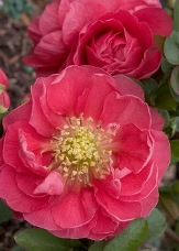 Double Take™ Pink Storm Flowering Quince, Japanese Quince