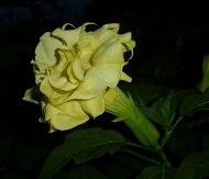 Double Yellow Angel's Trumpet, Devil's Trumpet