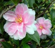 Dream Angel™ Sasanqua Camellia, Camellia sasanqua 'Dream Angel'