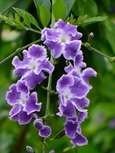 Sweet Memories Purple Sky Flower, Duranta, Golden Dew Drops, Duranta erecta 'Sweet Memories'