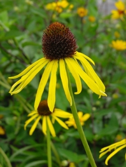 Bush's Yellow Coneflower, Ozark Coneflower, Yellow Purple Cone Flower