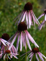 Sanguin Purple Cone Flower, coneflower