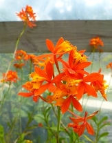 Reed-Stem Epidendrum, Ground-Rooting Orchid, Crucifix Orchid, Firestar Orchid,  Rainbow Orchid