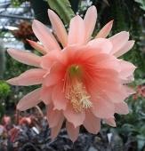 Argus Orchid Cactus, Epiphyllum