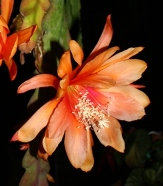 Just Beautiful Orchid Cactus, Epiphyllum Just Beautiful