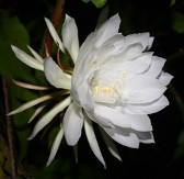 Night Blooming Cereus, Queen of the Night, Orchid Cactus, Epiphyllum, Epiphyllum oxypetalum, Cereus oxypetalus