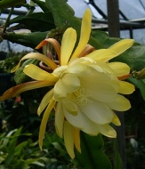 Yellow Orchid Cactus, Epiphyllum Yellow