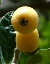 Loquat, Japanese Plum, Japanese Medlar, Nispero