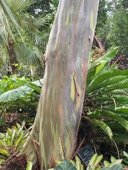 Rainbow Eucalyptus, Mandanao Gum, Rainbow Gum